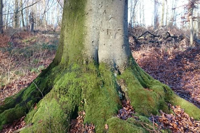 Stammanlauf einer großen Buche im Wald