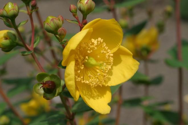 Blüte vom Johanniskraut