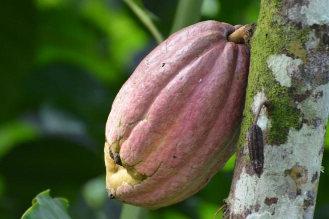 Frucht an einer Kakaopflanze