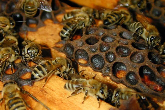 Bienen am Bienen-Lehrstand