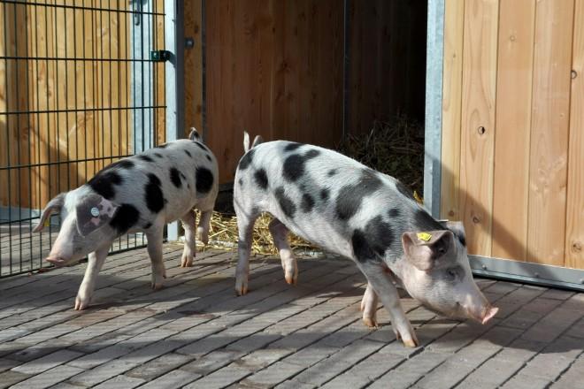 Bunte Bentheimer Schweine am Bauernhof