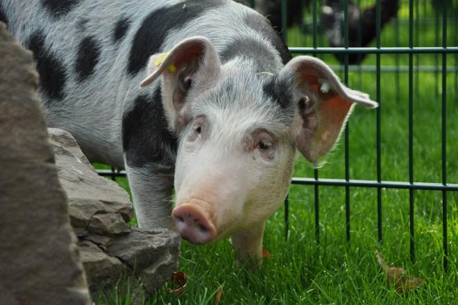 Buntes Bentheimer Schwein am Bauernhof
