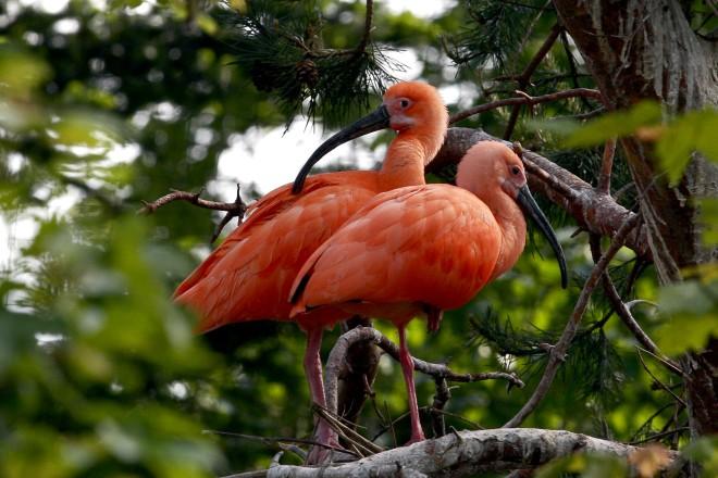 Rote Sichler in der Vogelfreifluganlage